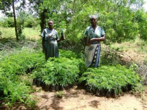 Seedling nurseries at group level_Kitui Central division in Kitui County